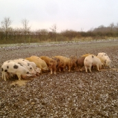 Our Pigs